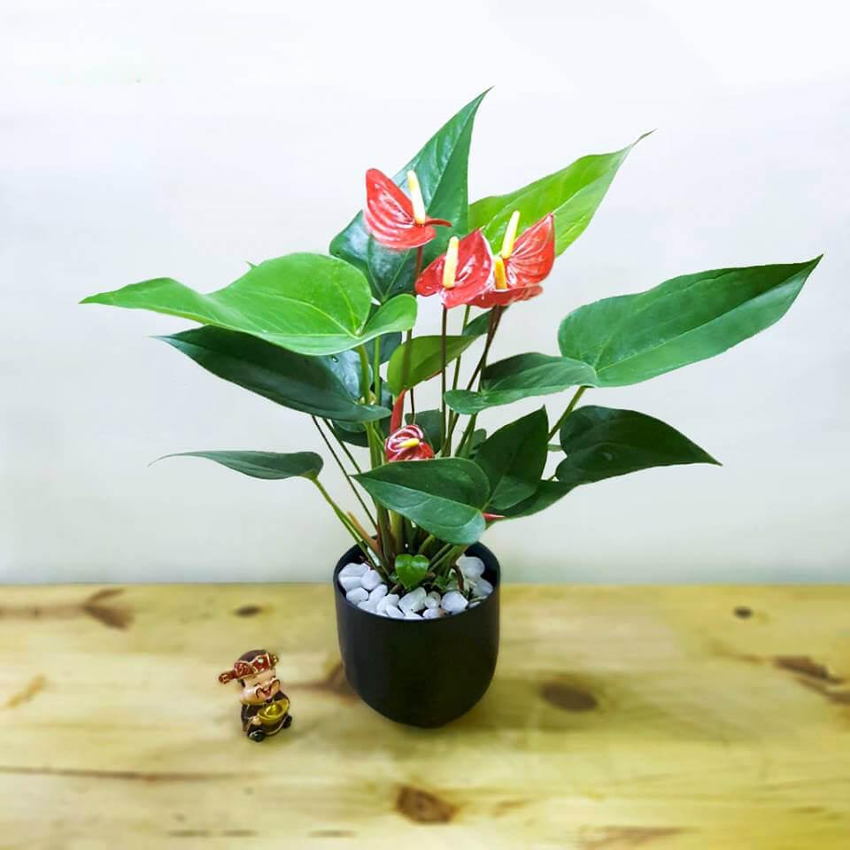 Đại hồng môn có hoa màu đỏ là loại được nhiều người mệnh Hỏa ưa chuộng nhất