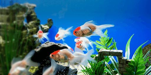 Mệnh thủy nuôi cá gì để tăng vượng khí?