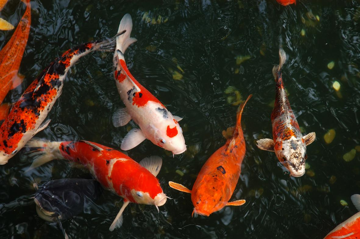 Cá chép Koi hợp mệnh Thủy