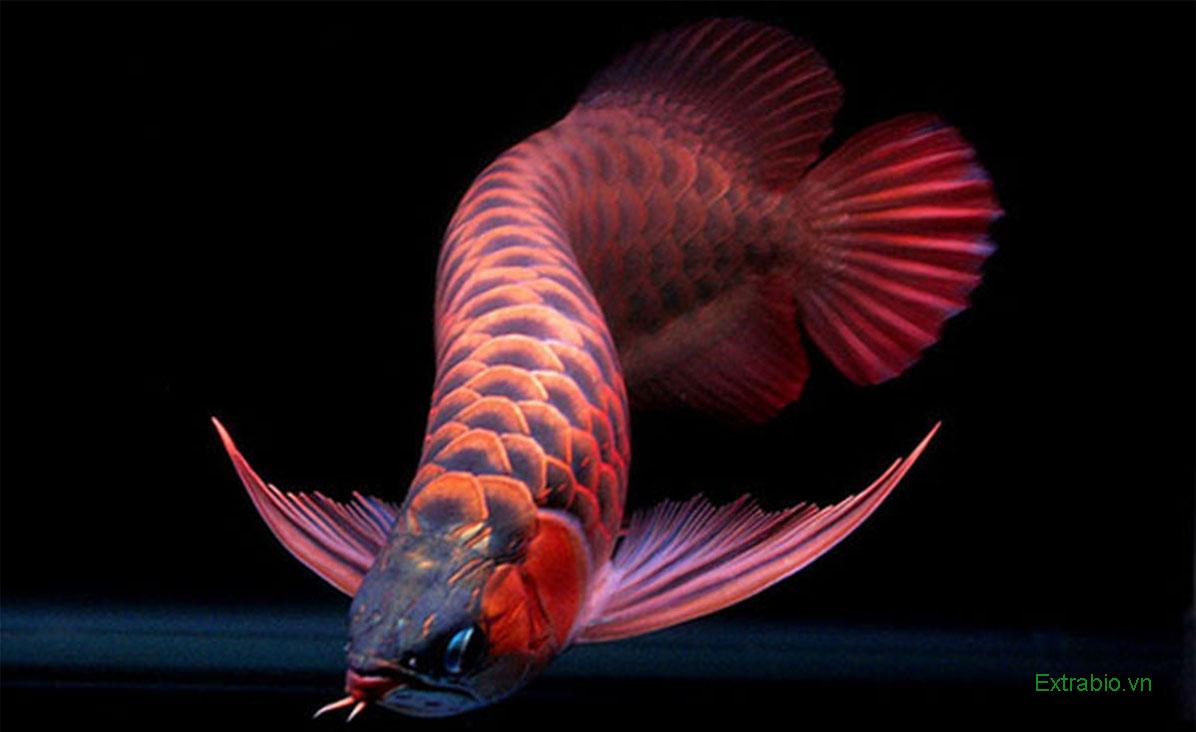 Cá Huyết Long hợp với mệnh Thủy